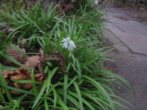 Possible Three cornered Garlic