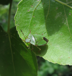 Common Green Shield Bug (3 photos)