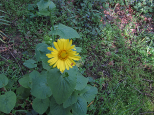Possible Leopards Bane (4 photos)