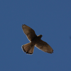 Small bird of prey in Tenerife (3 pics)