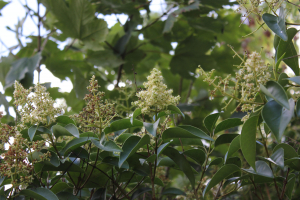 Privet (3 photos)
