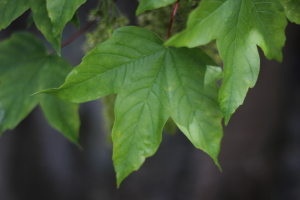 Maple, looks like sycamore, but odd leaves