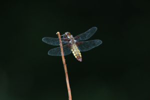 Broad bodied Chaser female (3 photos)