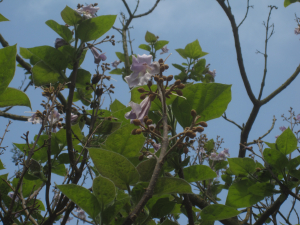 Tree with pink trumpet-like flowers