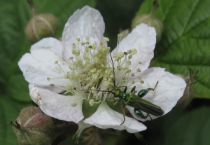 Male swollen thighed beetle