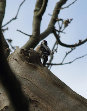 Lesser Spotted Woodpecker (2 pics)