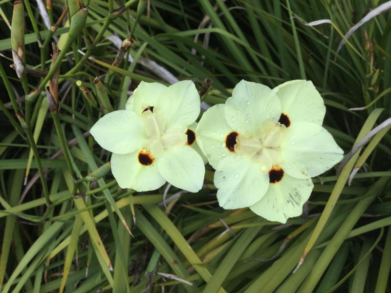 Picture of Live Fortnight Lily aka Dietes vegeta (Morea) Plant Fit 5 Gallon Pot