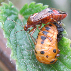 Red Bug attacking a Ladybird Pupa