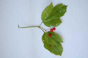 Guelder rose leaf sample from Cheshire