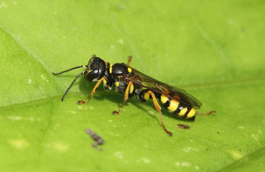 Eimenid Wasp sp????