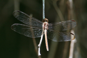 Dragonfly-A