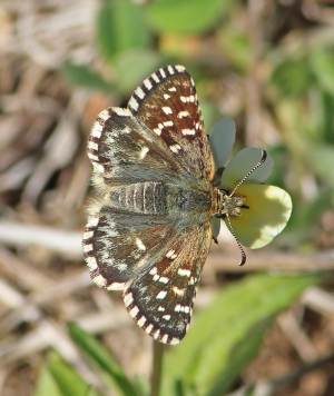 Grizzled Skipper type