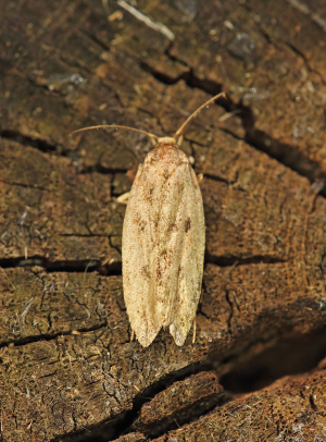 Brown House Moth (Hofmannophila pseudospretella)