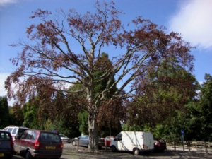 Unusual copper beech