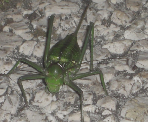 Green bug, possibly a cricket