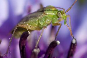 Green bug on a cornflower