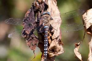 Black and blue dragonfly or damselfly