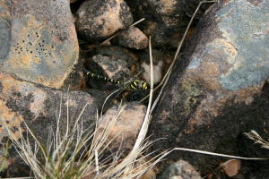 Dragonfly near Gairloch, Scotland