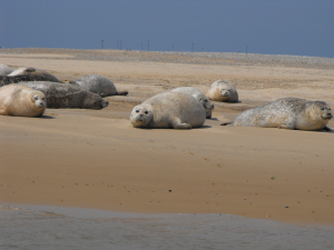 grey or common seals or both