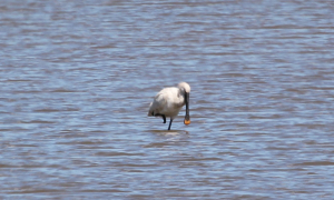 Spoonbill taken at Blacktoft Sands 26-06-2011