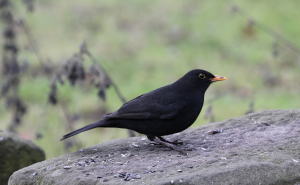 Blackbird at Old moor Barnsley