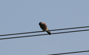 Kestrel at Wyver Lane