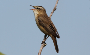 Sedge Warbler at Ogston Res