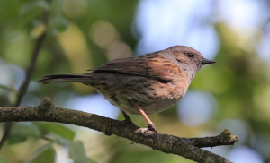 Dunnock at the Avenue Washlands Chesterfield