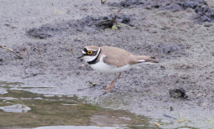 Little Ringed Plover at Old Moor Barnsley
