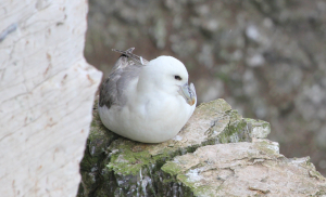 Fulmar at Bempton Cliffs