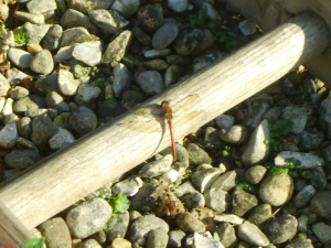 Common darter?
