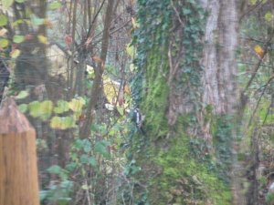Great spotted woodpecker (Dendrocopos major) 19th November 2010 1