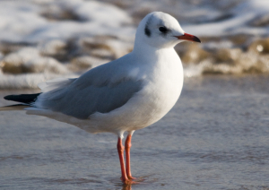 black-headed gull (adult winter)