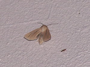 Striped Wainscot