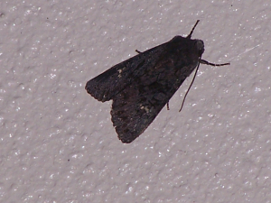 Possible Black Rustic
