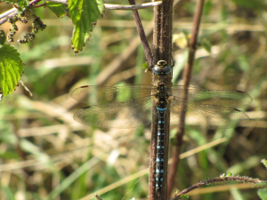Migrant Hawker - mature male