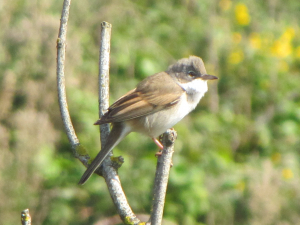 Common Whitethroat - male