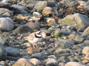 Ringed Plover - male