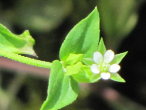 Three-nerved Sandwort