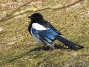 Magpie with shining wings