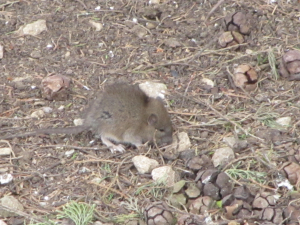 Brown Rat - young animal