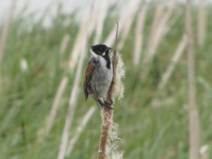 Reed Bunting - male