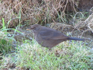Blackbird - female