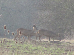 Roe deer - male and two females