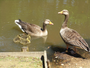 Pair of Greylag geese with goslings