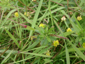 Lesser Yellow Trefoil?