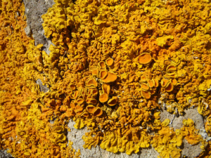 Xanthoria on the coast