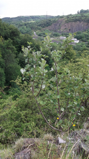 Welsh Whitebeam