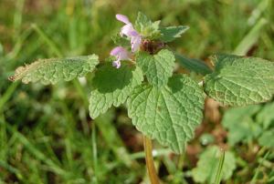 red deadnettle A4232 roundabout