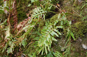 Welsh polypody in Wales